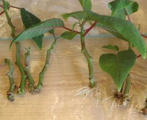 Poinsettia cuttings