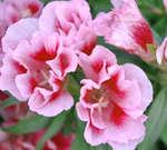 Large-flowered Godetia