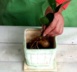 Planting Zamiokulkasa in the pot