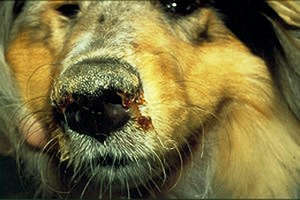 Sign of distemper on the dog's face