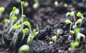 Ground sprouts in soil