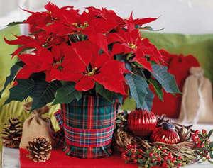 Рождественская камелия