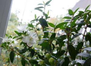 Мадагаскарский жасмин уход в домашних условиях