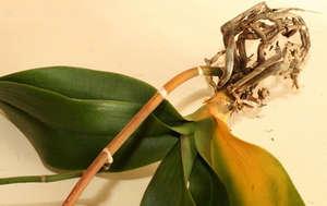 У орхидеи отвалились все листья что делать