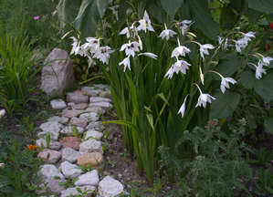 Abyssinian gladiolus in the garden