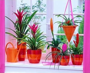 Bromeliad on the windowsill