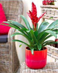 Bromelia variese in a pot