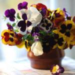 Как вырастить виолу (анютины глазки) в открытом грунте или дома на балконе