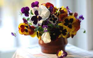 Выращивание Виолы из семян в домашних условиях, когда сажать рассаду (фото и видео инструкция)
