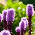 Как вырастить лиатрис в своем саду семенами и делением корневищ