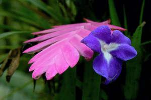 Flowering tillands