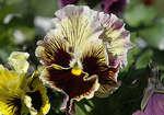 Цветок Хемалис Виола