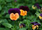 Цветок виола рогатая