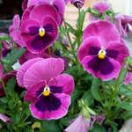 Цветок виола швейцарская