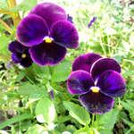 Цветок виола - Тримардо