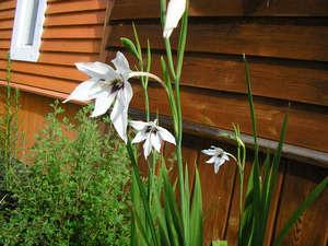 Flowers atsidantery in the garden