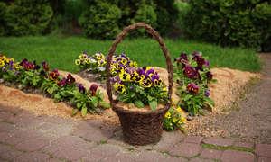 Декорирование клумбы цветами виолы