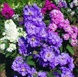 Purple Mattiola Flowers