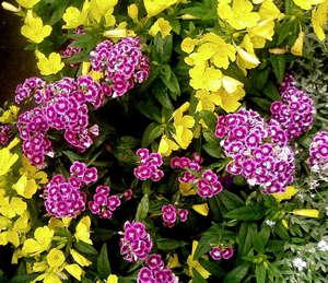 Густое цветение турецкой гвоздики