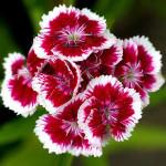 Как вырастить у себя дома или в саду махровую турецкую гвоздику?