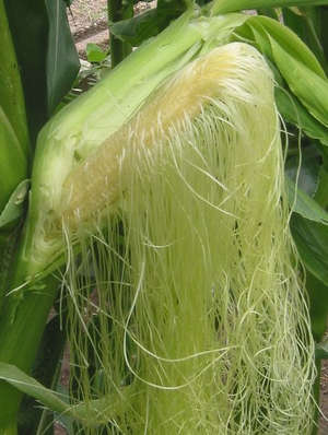 Corn ryts Thread