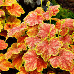 Выращиваем цветы гейхеры в саду и в домашних условиях