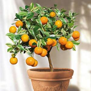 Плоды цитрофортунеллы