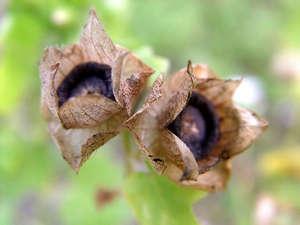 Тюльпаны с конфетами из гофрированной бумаги своими руками пошагово 293