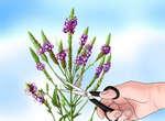 Прищипывание растения