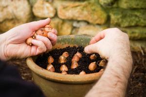 Seedling bulbs atsidantery