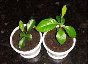 Seeding cuttings calamondin in pots