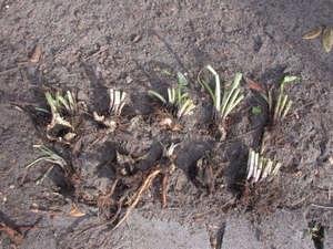 Размножение лиатриса корневищем