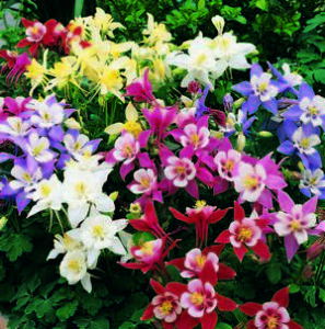 Varieties of colors aquilegia