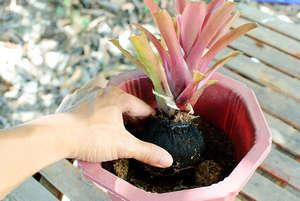 Plant bromeliad