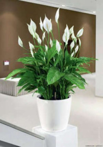 Spathiphyllum in the home interior
