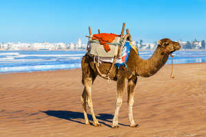 Camel on the shore