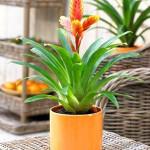 Выращивание вриезии у себя дома — как добиться цветения (фото и видео инструкция)