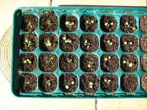Выращивание из семян в кассетах