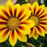Как правильно выращивать южноафриканскую ромашку в домашних условиях и в саду