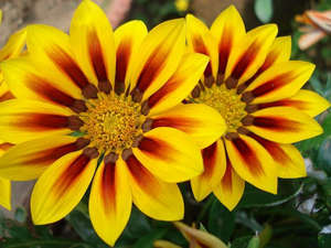 Желтые цветы гацании
