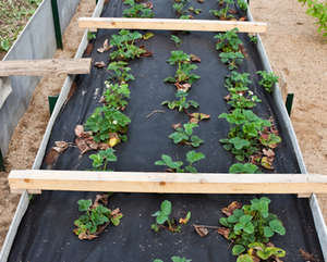 Strawberries in high beds