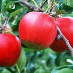 Простые способы прививки плодовых деревьев в вашем саду