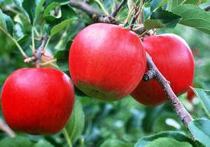 Правильная прививка яблони к дичке
