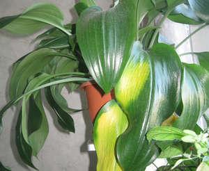 Желтеют листья у растения