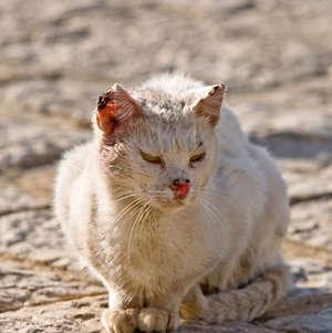 Болезнь чумка у кота