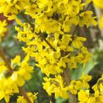 Выращивание и размножение форзиции на садовом участке (фото и видео советы)