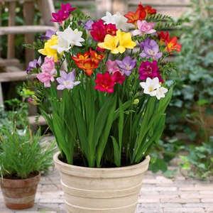 Цветы фрезия посадка и уход в саду