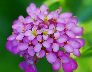 Иберис розовый сон