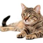 Кошачья чумка — признаки и причины заболевания, способы лечения в домашних условиях