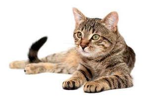 Как вылечить чумку у кошки